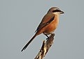 Long-tailed Shrike by Dr. Raju Kasambe DSCN7156 (20).jpg