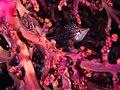 Longnose hawkfish (Oxycirrhites typus) (32199935422).jpg