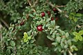 Lonicera-myrtillus-berries.jpg