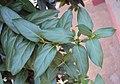 Lonicera japonica 07a.JPG