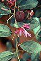 Loropetalum chinensis Plum Delight 0zz.jpg