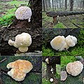 Lots of giant Oligoporus ptychogaster (Boompuisten) at Westerheide. Some are 80 mm diameter and have guttation drops - panoramio.jpg