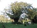 Lovely old tree in St Andrew's Churchyard - geograph.org.uk - 638520.jpg