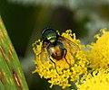 Lucilia sp. Calliphoridae (36085951305).jpg