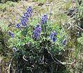 Lupinus lepidus - Prairie lupine - Flickr - brewbooks.jpg