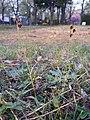Luzula campestris sl42.jpg