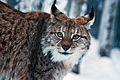 Lynx 0635.jpg