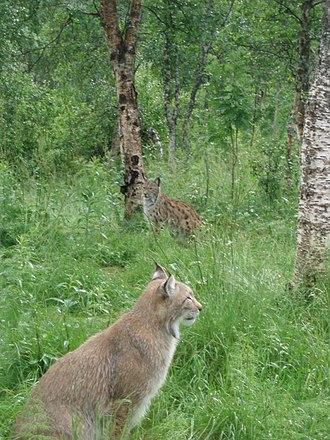 Bardu - Image: Lynx lynx Male+female Polar Park Norway