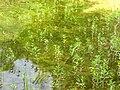 Lysimachia thyrsiflora Bobiecinskie Wlk.jpg