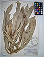 MNH DA 017-PAND-074 Freycinetia multiflora Merr.jpg