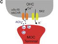 MOC fibers and the cholinergic synapse onto OHCs in the mature Organ of Corti-C.png