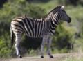 MPGR-Zebra.png