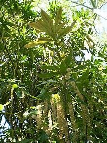Macadamia Tetraphylla Wikipedia