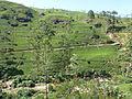 Mackwoods Labookellie tea plantations (1).jpg