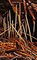 Macrotyphula juncea (Alb. & Schwein.) Berthier 279551.jpg