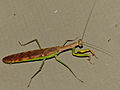 Madagascan Marbled Mantis (Polyspilota aeruginosa) (13947159663).jpg