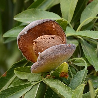 Almond - Mature almond fruit