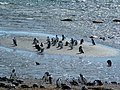 Magellanic Penguin (Spheniscus magellanicus) -many by the sea.jpg