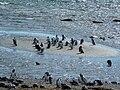 Magellanic Penguin (Spheniscus magellanicus) -many by the sea.jpg