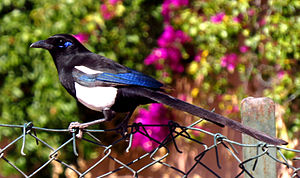 Eurasian magpie - Maghreb magpie (P. p. mauritanica) showing the characteristic blue patch behind the eye