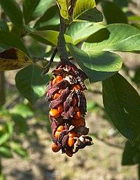 Magnolia cylindrica B