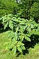 Magnolia tripetala kz4.jpg