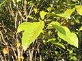 Magnolia x Jane 0zz.jpg
