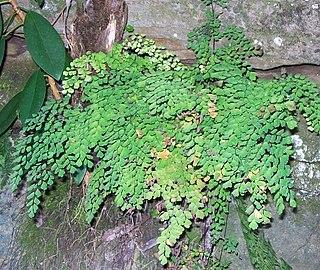 <i>Adiantum aethiopicum</i> species of plant