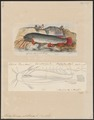 Malapterurus electricus - 1700-1880 - Print - Iconographia Zoologica - Special Collections University of Amsterdam - UBA01 IZ14600153.tif