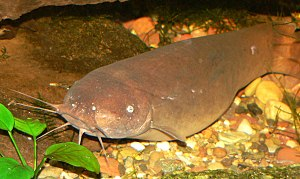 History of electromagnetic theory - Electric catfish are found in tropical Africa and the Nile River.