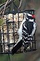 Male Downy Woodpecker 3944 (5214785735).jpg