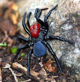 <i>Missulena</i> Genus of spiders