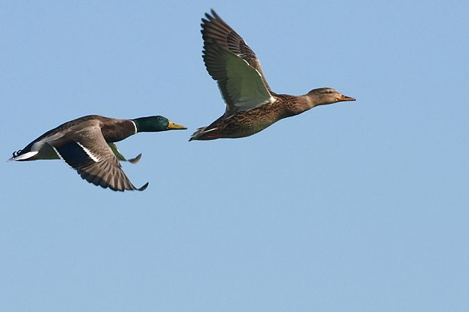 Mallard pair in flight.jpg