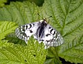 Mallow Scrub Hairstreak Butterfly on Leaf, Mt Baker Snoqualmie National Forest (32073013186).jpg