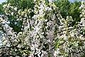 Malus floribunda 7zz.jpg