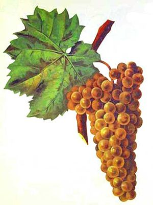 Madeira wine - Malvasia (also known as Malmsey or Malvazia) grape variety.
