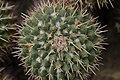 Mammillaria compressa (40966079481).jpg