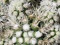 Mammillaria gracilis texensis 13.JPG