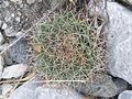 Mammillaria heyderi ssp. hemisphaerica (5664670156).jpg