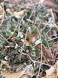 Mammillaria polyedra (5741821593).jpg