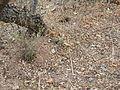 Mammillaria polyedra (5742377642).jpg