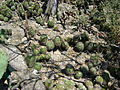 Mammillaria polyedra (5758796585).jpg