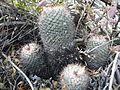 Mammillaria sps (5692340481).jpg