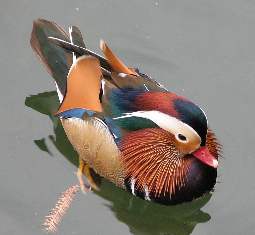 http://upload.wikimedia.org/wikipedia/commons/thumb/b/b5/Mandarin_Duck_22.jpg/833px-Mandarin_Duck_22.jpg