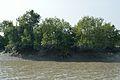 Mangroves - Riverbank Ichamati - Taki - North 24 Parganas 2015-01-13 4456.JPG