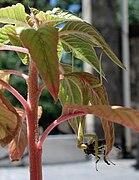 Mantis comiendo.jpg