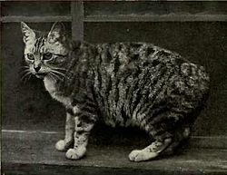 Manx tabby rumpy (queue absente).