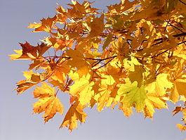 Maple-oliv2.jpg