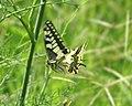 Mariposa desovando en vuelo - butterfly laying eggs in flight (249924700).jpg
