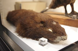 Marmota vancouverensis at the Beaty Biodiversity Museum.JPG